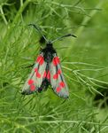 Title: Six Spot Burnet Moth