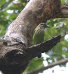 Title: SMALL GREEN BARBET