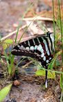 Title: Small -striped swordtail