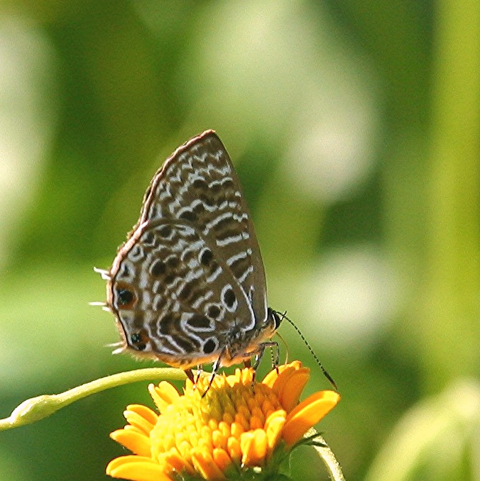 Spotted ciliate blue