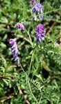 Title: Tufted Vetch