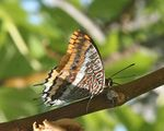 Title: Two-tailed Pasha