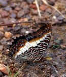 Title: White Barred Charaxes