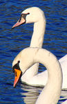 Title: Swans lovers