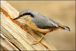Title: Nuthatch for Joey