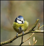 Title: Fluffed up Blue Tit