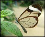 Title: Glasswing Butterfly