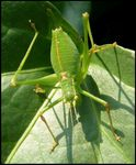 Title: Speckled Bush-Cricket