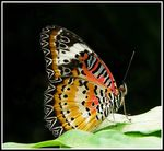 Title: Lacewing Butterfly