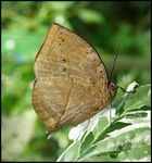 Title: Indian Leaf Butterfly