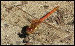 Title: Common Darter