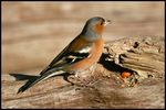 Title: Male Chaffinch
