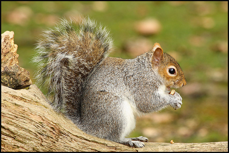 how to clean squirrel fur