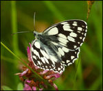 Title: Marbled White.