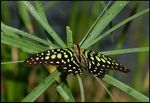 Title: Tailed Jay Butterfly