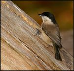 Title: Willow Tit.