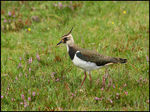 Title: Lapwing Camera: Canon  40D