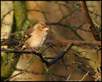 Title: Female Chaffinch