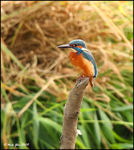 Title: My First Kingfisher on TN