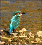 Title: Kingfisher No2 Camera: Canon  40D