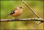 Title: Male Chaffinch Camera: Canon  40D