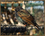 Title: Starling No 2