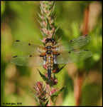 Title: 4 Spotted Chaser