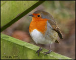 Title: Robin For Mary