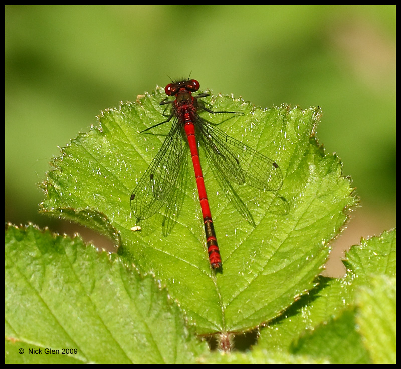 First of the year  .Red Damselfly