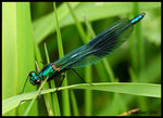 Title: Male Banded Demoiselle