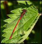 Title: Large Red Damselfly
