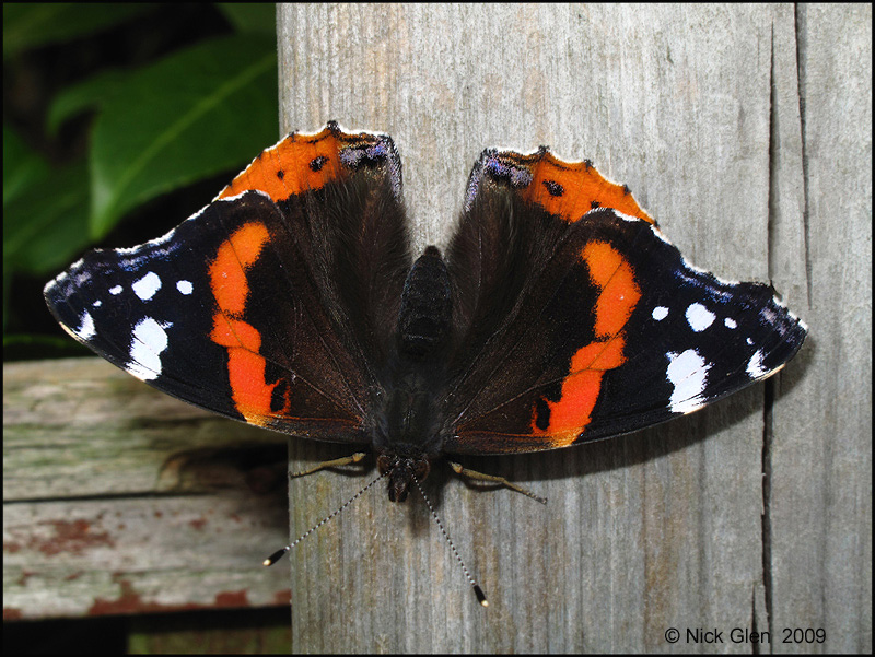 Red Admiral  November 4th