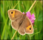 Title: Meadow Brown