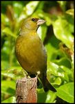 Title: Male Greenfinch