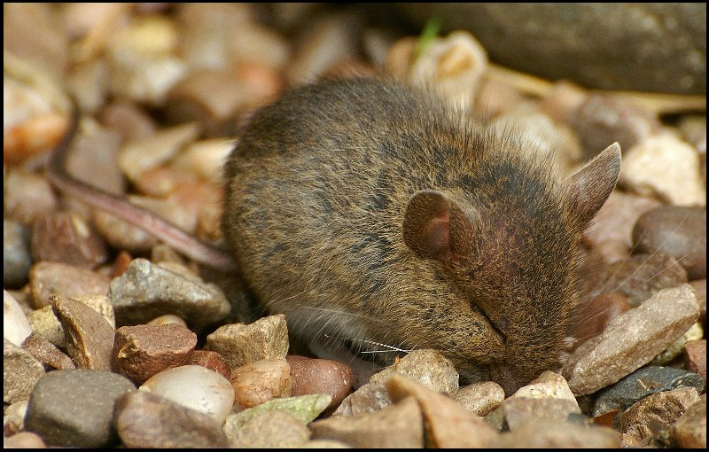 Baby Woodmouse