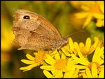 Title: Small Heath Butterfly.