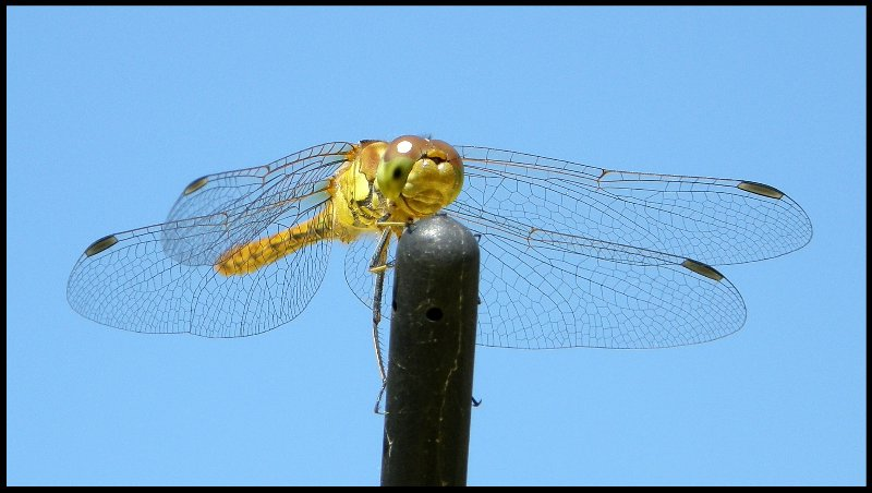 Laughing Dragonfly