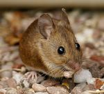 Title: Wood Mouse.