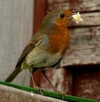 Title: Robins Lunchtime