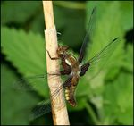 Title: Female Broad -Bodied Chaser