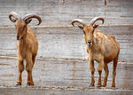 Title: Goats in Madrid Zoo