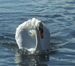 Title: Yet another Swan