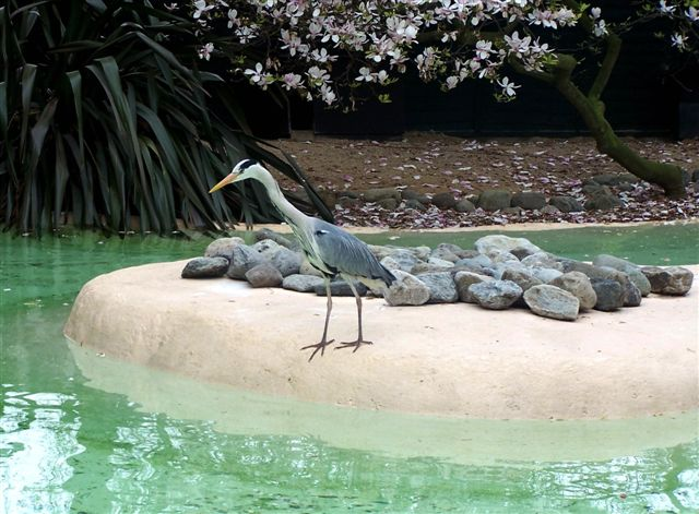 Another Blue Heron - London Zoo