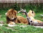 Title: Lions Resting in Madrid Zoo