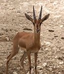 Title: Young Impala at Doha Zoo