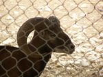 Title: Ram at Doha Zoo