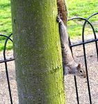 Title: The same squirrel - Hyde Park