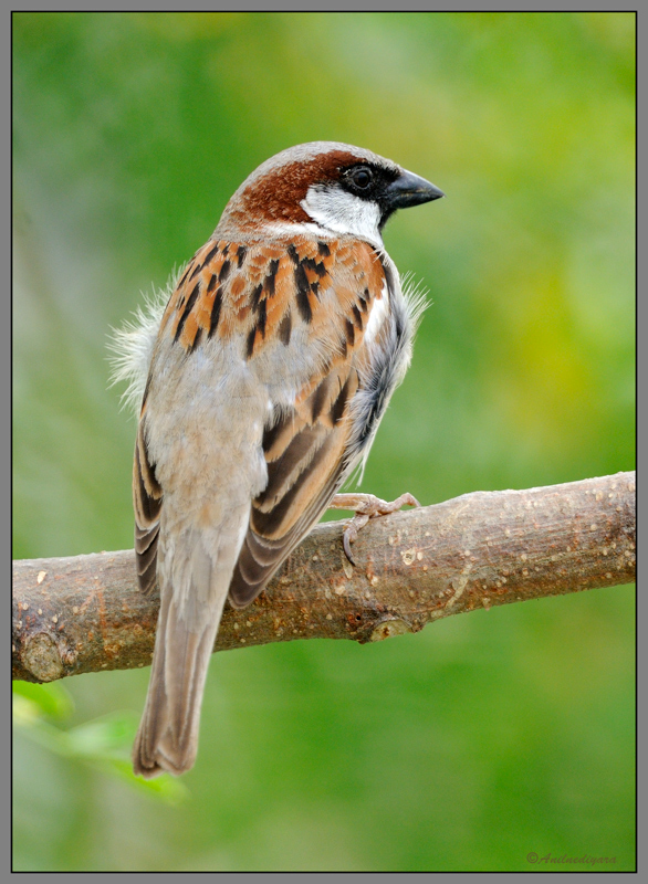 House Sparrow For Ivan & Ulla
