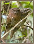 Title: Ceylon Frogmouth