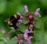 Title: ::Bumblebee at lunch time::